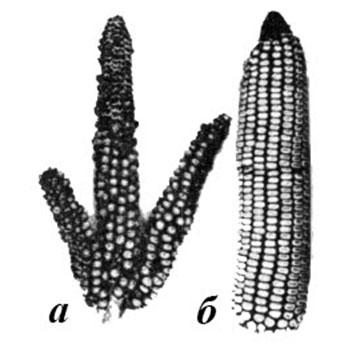 Изменение пола у растений кукурузы