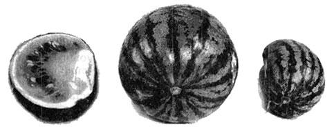 Явление дорсивентральности у арбуза