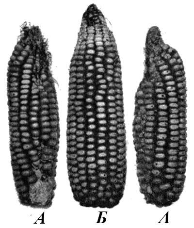 Явление дорсивентральности у кукурузы