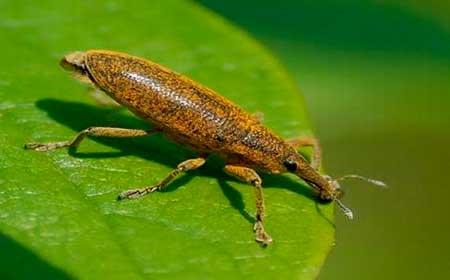 Долгоносик воротниковый (Sitophilus grananus L.)