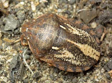 Клоп черепашка (Eurygaster integriceps Put.)