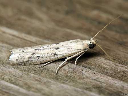 Огневка подсолнечная (Homoeosoma nebulella Hb.)