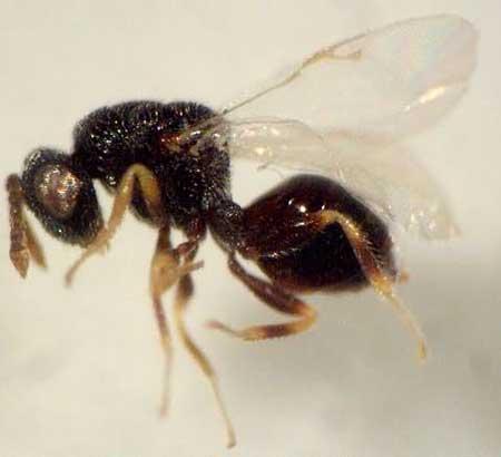 Семяед люцерновый (Bruchoophagus roddi Wuss.)
