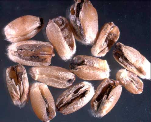 Твердая-головня-пшеницы