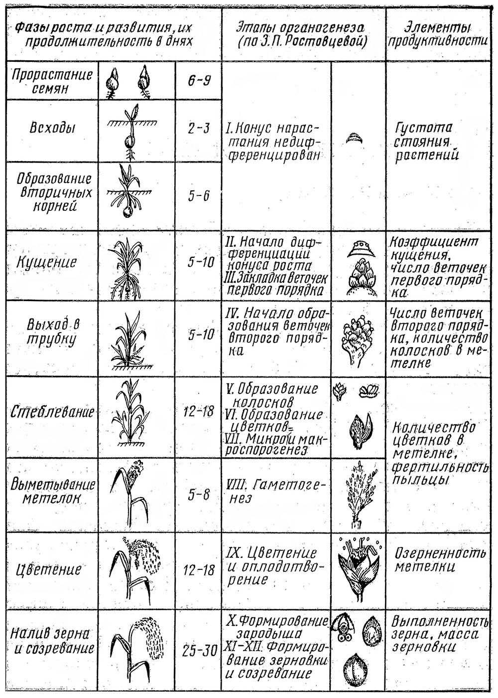 Фазы роста и развития, этапы органогенеза проса