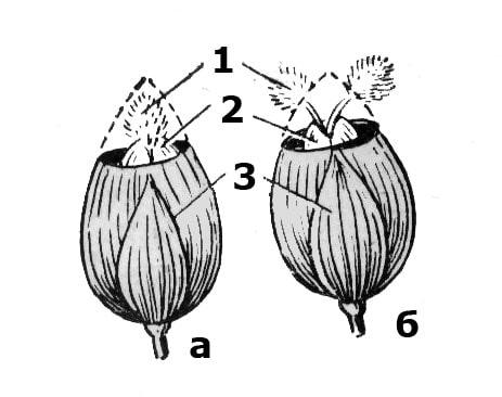 Колоски проса с закрывшимися цветками: а – рыльца, прикрытые колосковыми чешуями; б – рыльца, не прикрытые колосковыми чешуями; 1 – рыльца; 2 – цветковые пленки; 3 – колосковые чешуи