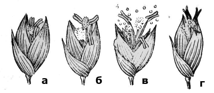 Колоски проса в разных фазах цветения: а – раскрывание цветка; б – выход пыльников и рылец наружу цветка; в – растрескивание пыльников и опыление; г – закрывание цветка